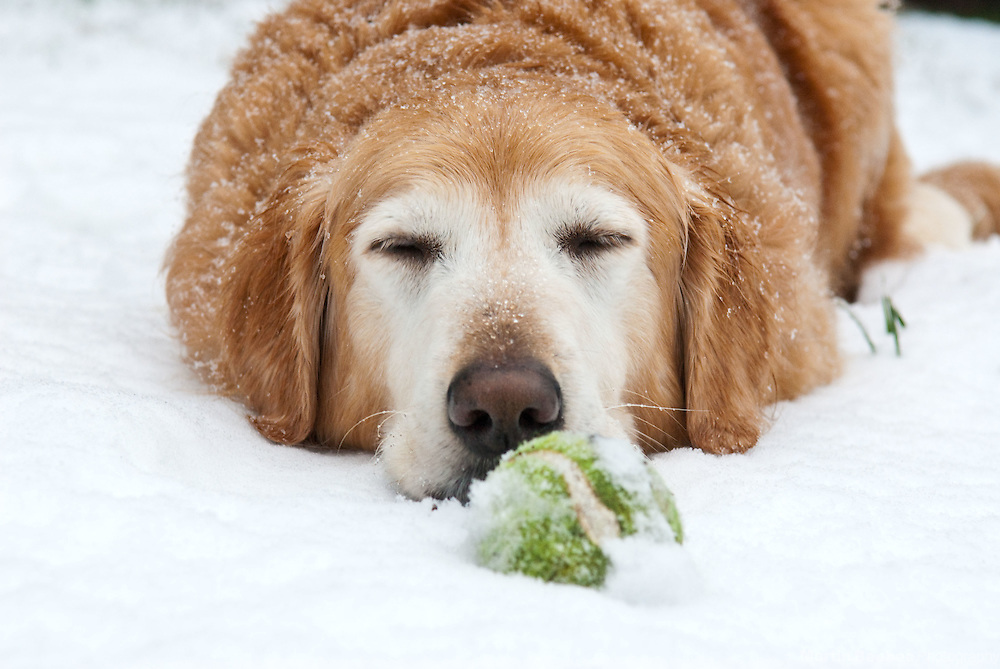 A golden retriever lies in the snow with a tennis ball