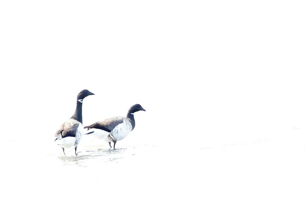 Brant Geese, Sandy Hook