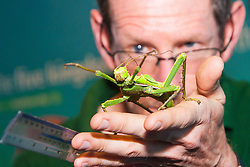 ZSL London, August 21st 2014. Dave Clarke measures a jungle nymph stick insect as ZSL London holds its annual animal weigh and measure day to update their databases.