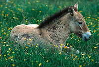 Przewalsi horse foal laying in grass