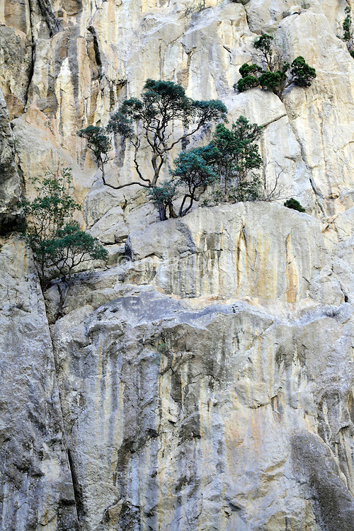 pine trees growing on an rock cliff