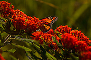 ICF_Prairie.-Monarch Butterfly on Butterfly Weed (Asclepias tuberosa).  The International Crane Foundation's (ICF) mission is to conserve cranes and the ecosystems, or landscapes, on which they depend. In 1980 ICF began restoring native prairie, savanna, wetland, and woodland communities on the newly acquired 160 acre property north of Baraboo, Wisconsin.  The site now serves as an outdoor laboratory with over 100 acres of restored landscapes alongside another 60 acres of natural landscape, where the process of restoration can be explored and the lessons applied worldwide.