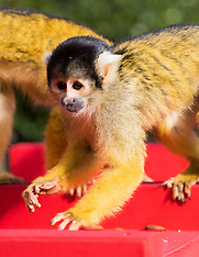 2017-03-30 London Zoo Squirrel Monkeys celebrate 'Dear Zoo' anniversary.