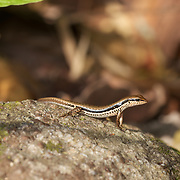 Spotted Forest Skink (Sphenomorphus maculatus) in Chaloem Phrakiat Thai Prachan National Park, Ratchaburi, Thailand.
