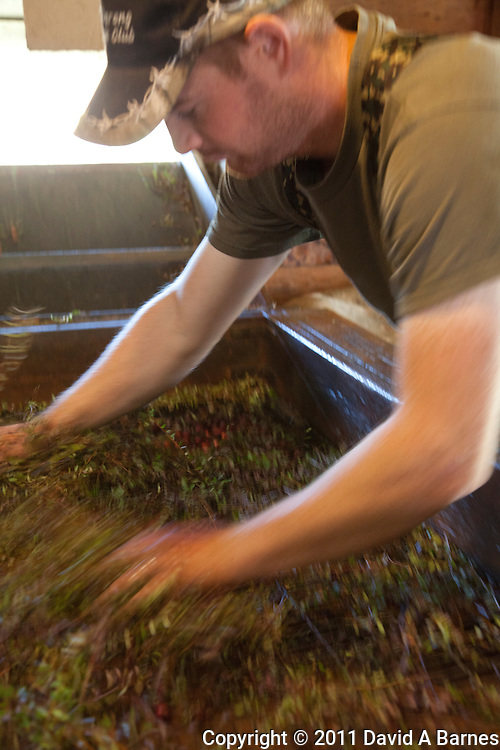 Man separating the cranberries for the vines in machine.