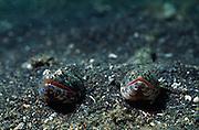 Lizard fish (Synodus sp.) | Eidechsenfisch (Synodus sp.)