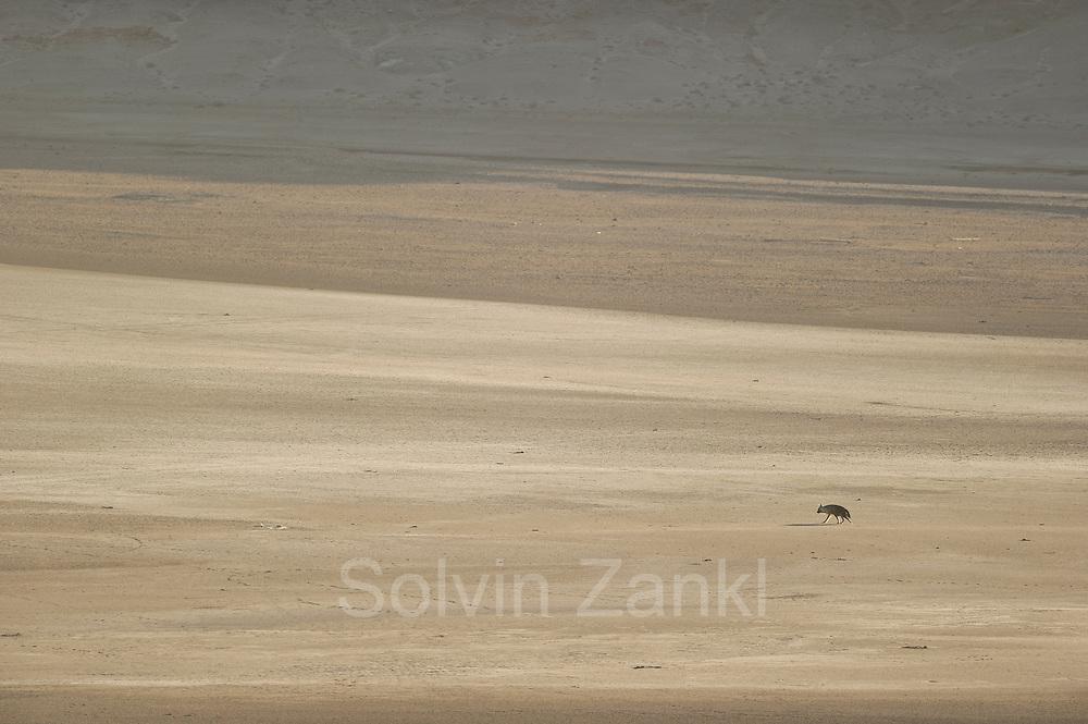 Brown hyena (Parahyaena brunnea or Hyaena brunnea) searching for food, Tsau-ǁKhaeb-(Sperrgebiet)-Nationalpark, Namibia    Schabrackenhyäne (Parahyaena brunnea oder Hyaena brunnea), Sperrgebiet National Park, Namibia