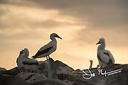 Nazca booby colony on Española island in the Galapagos archipelago of Ecuador.