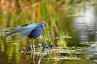 Purple Swamphen, (Porphyrio porphyrio), an introduced species now endemic in S. Florida,  Wakodahatchee Wetlands, Florida