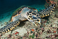Feeding hawksbill turtle, Mabul, Sabah, Malaysia.
