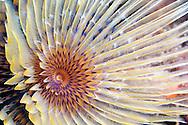 Alberto Carrera, Tubeworm, Fan Worm, Spirographis, Spirographis Spallanzani, Feather Duster Worms, Tube Worm, Polychaete, Mediterranean Sea, Spain, Europe