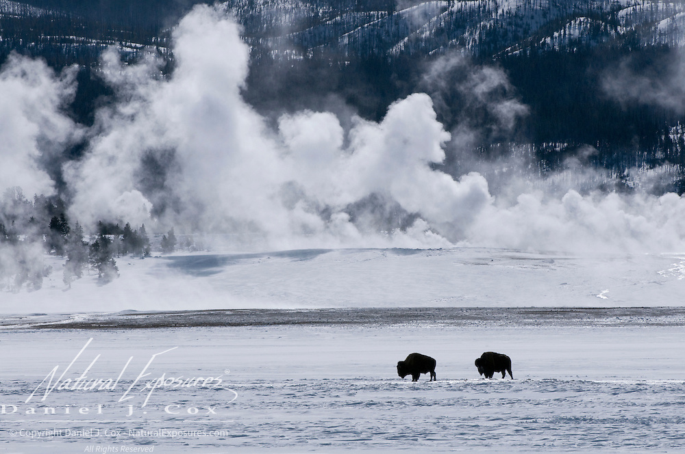 American Bison (Bison bison) pair near the Lower Geyser Basin of Fountain Paint Pots. Yellowstone National Park