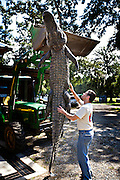 Workers at Cordray's Taxidermy in Ravenel, SC prepare a 12-foot alligator for processing after it was brought in by a hunter during the 3-week long alligator hunting season September 27, 2009. About 300 alligators are taken during the short season out of an estimated 150,000 alligators in SC waters.