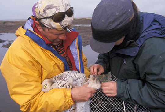 Snowy Owl, (Nyctea scandiaca) Denver. Alaska Holt and Laura Phillips prepare female for satellite transmitter. Barrow, Alaska