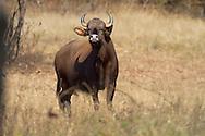 Gaur or Indian Bison - Bos gaurus