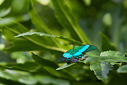 Green and blue butterfly on a leaf.Niagara Falls Butterfly conservatory,Niagara Falls,Ontario,Canada,