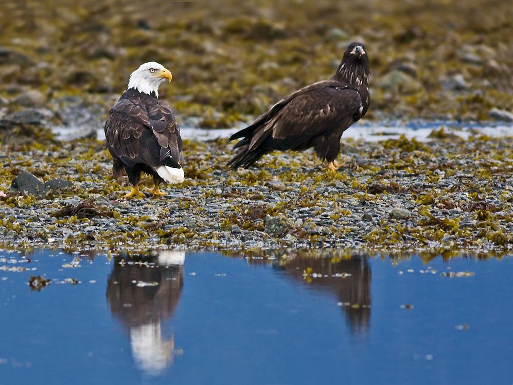 Glacier Bay Bald Eagles