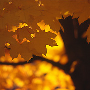 Fall maple leaves turn orange along the Greenbelt, Boise, Idaho