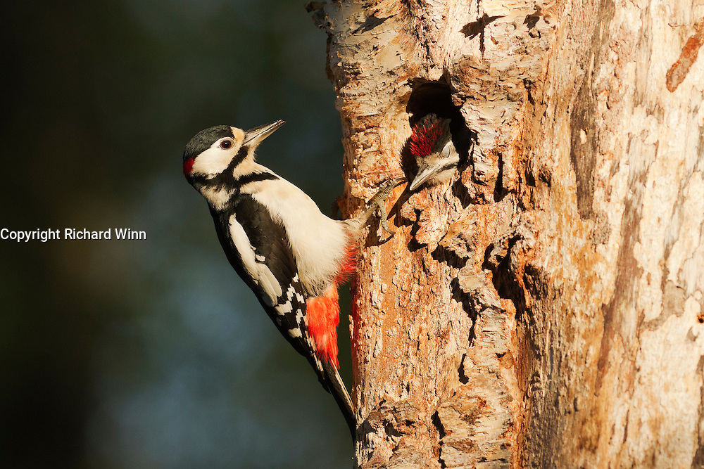 Male great spotted woodpecker after feeding fledgling at nest. The young woodpeckers fledged a couple of days later.
