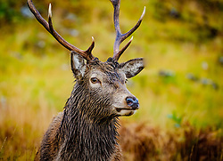 A red deer stag in Glen Etive, Highlands of Scotland<br /> <br /> (c) Andrew Wilson | Edinburgh Elite media