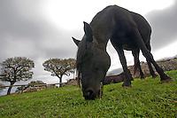 27\10\2010 Nel pascolo della masseria Salita delle Pere ( Canale di Pirro ), delimitato da muretti a secco un cavallo murgese bruca mentre  dietro di lui un'altro equino della stessa razza è disteso sull'erba sottostanti ad un cielo grigio nuvoloso...In Puglia, ancora oggi, persistono realtà autentiche e genuine: flora e fauna sono gli ingredienti base delle masserie che con i loro muretti a secco costellano il territorio del tacco d' Italia. Qui l'allevamento è una delle attività principali, ieri come oggi, che il massaro porta avanti quotidianamente con pazienza e devozione. La masseria delle Murge è abitata da equini, bovini, ovini ecc. che sono il motore della produzione alimentare come per esempio la tipica mozzarella. Entriamo quindi in un'atmosfera bucolica che ci fa respirare odori, gustare sapori e ammirare colori che identificano il territorio. Buon viaggio dei sensi..