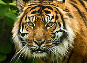 Another of the Sumatran Tigers of the Metro Toronto Zoo.  Looking straight at you!..4069 x 2925 pixels original size.  3-shot stitched image