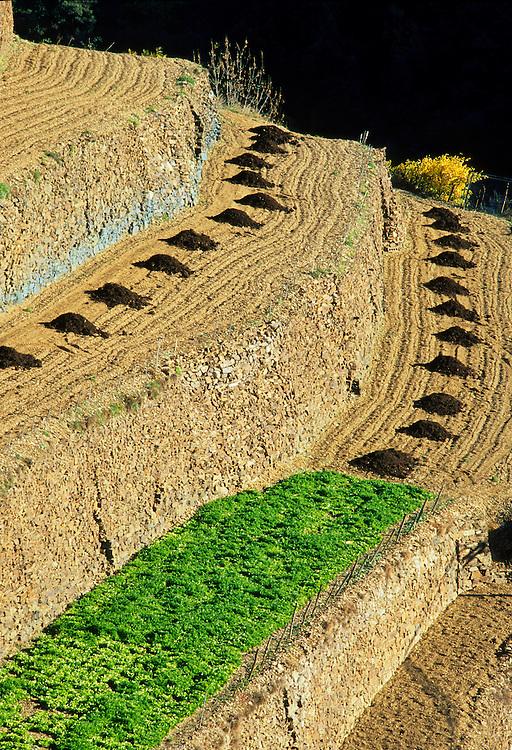 France, Languedoc Roussillon, Gard, Cevennes, Saint Martial, cultures en terrasses