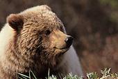 Wildlife: Grizzly Bear