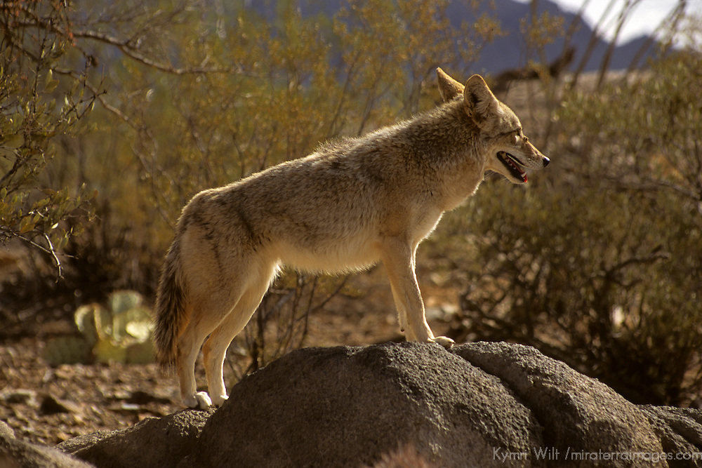 North America, Americas, USA, United States, Arizona. Coyote at the Arizona-Sonora Desert Museum.