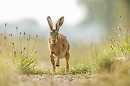European Hare (Lepus europaeus) adult running along farm track, South Norfolk, UK. August.