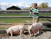 "Carter Watsabaugh, 10, works Mr. Peabody and Turbo, Teton County Fair's first naturally-raised pigs, in the small coral at his family's South Park home on May 12, 2014. ""I wanted to raise natural pigs to make healthier meat,"" Watsabaugh said."
