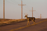 WHITETAILED BUCK CROSSING A HIGHWAY
