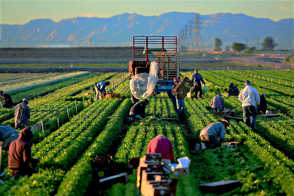 Mexican Nationals at work in a Lettuce field near El Centro, CA on Wednesday, March 5, 2014.  Lines at the U.S.-Mexico border from Mexicali are extremely long for many laborers  who cross each morning,  where sometimes the wait can be up to Four hours.(Photo by Sandy Huffaker)