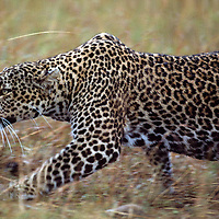 Kenya, Masai Mara Game Reserve, Adult Female Leopard (Panthera pardus) stalking through tall grass while hunting Wildebeest
