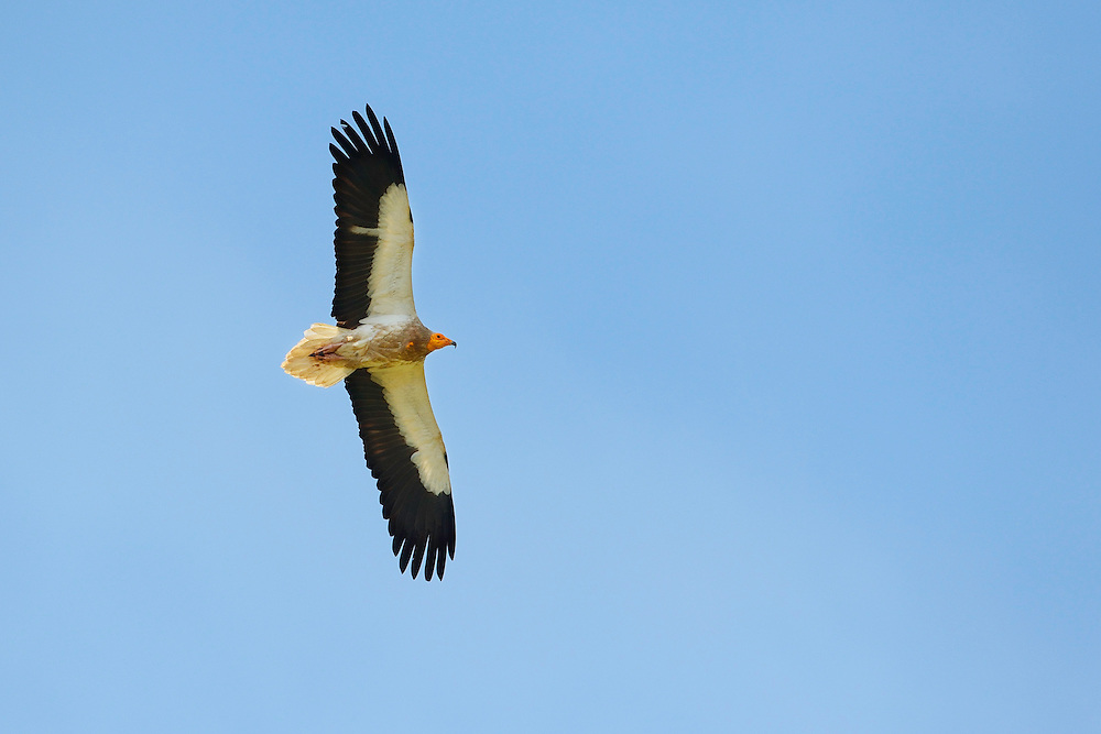 Egyptian vulture, Neophron percnopterus, Madzharovo, Eastern Rhodope mountains, Bulgaria, endangered species