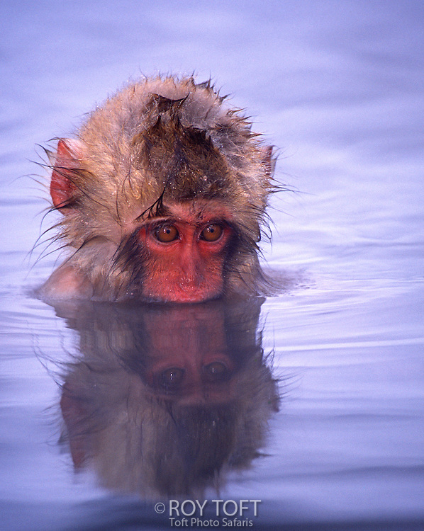 Baby Japanese macaque (snow monkey) bathing in natural hot springs, Honshu Island, Japan.