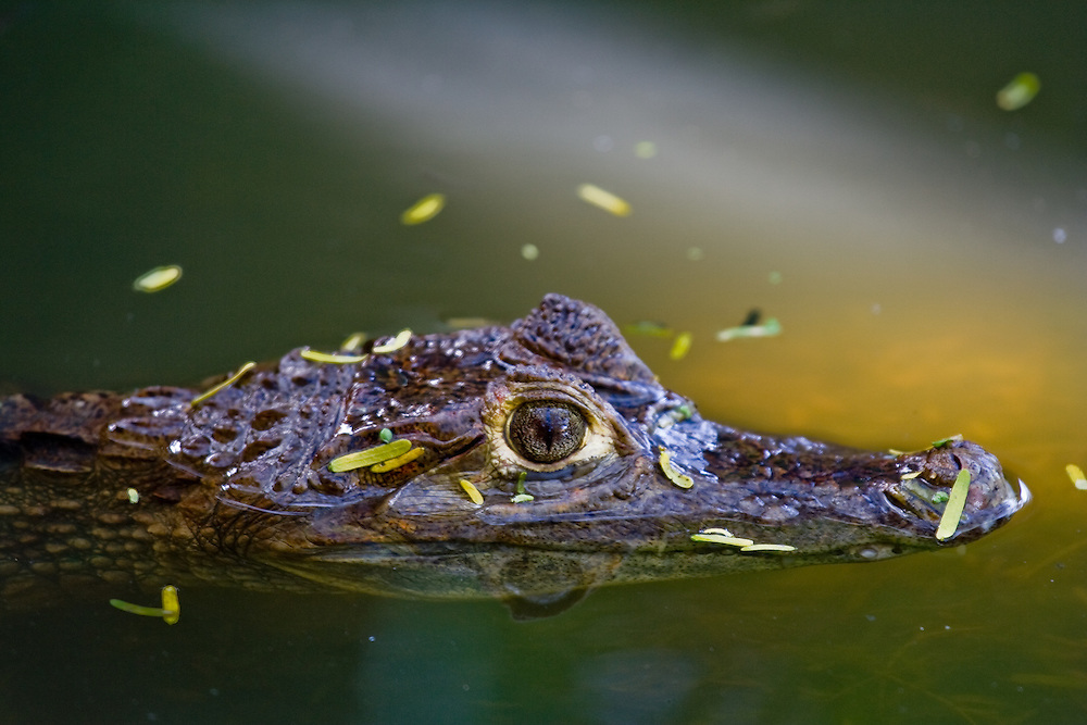 Black caiman, Melanosuchus niger, near Santa Marta, Colombia