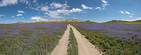 Panorama of a dirt road leading through blue Great Valley Phacelia below the Temblor Range in the Carrizo Plains National Monument, California during a super wildflower bloom on April 4, 2019.