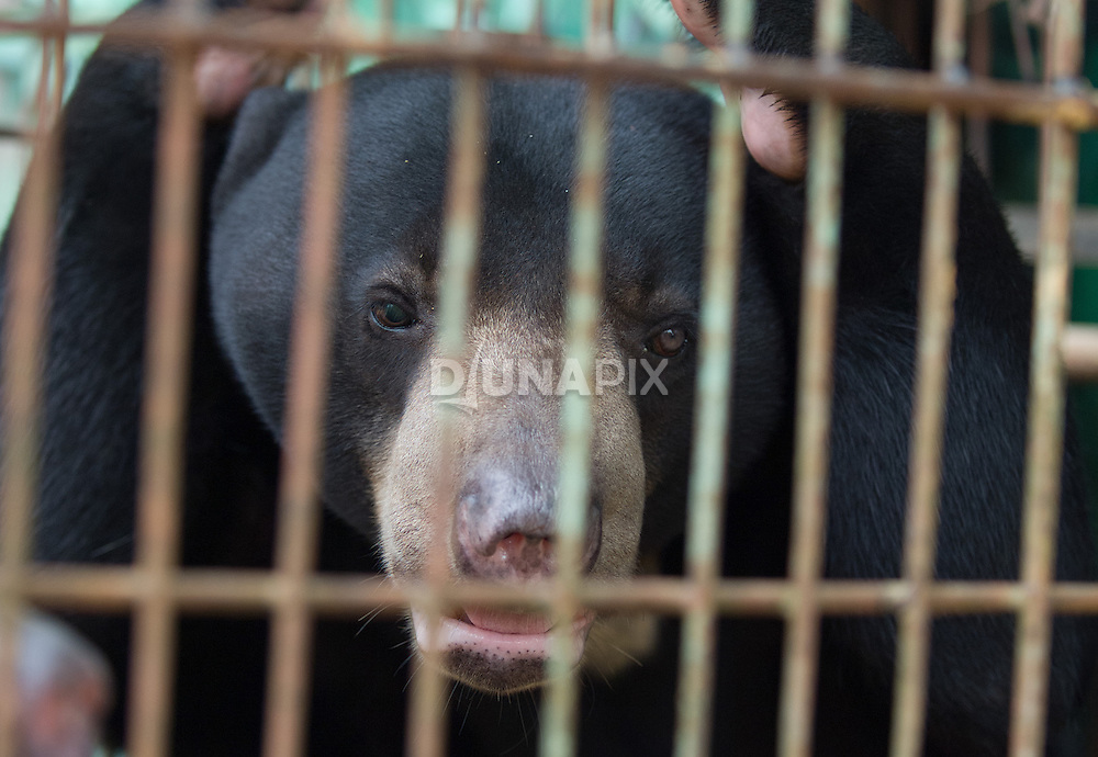 A Malayan sun bear (Helarctos malayanus) waits for release into a 1.3 hectare enclosure at the Kalimantan Wildlife Education Center near Balikpapan