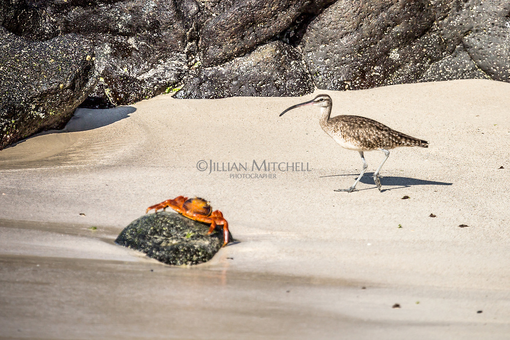 Whimbrel & Sally Lightfoot Crab