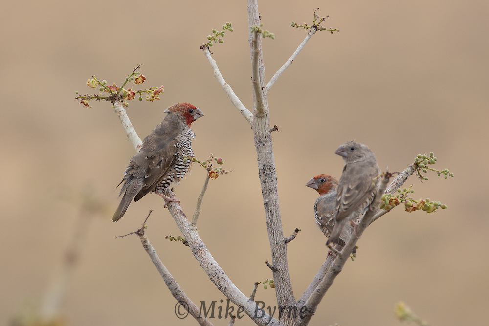 Red-headed finch at Dolomite Camp, Etosha, Namibia