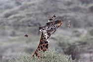 Giraffe shakes off ox-peckers in African habitat
