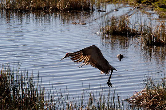 Sandhill Crane, (Grus canadensis) In flight. Spring. Yellowstone National Park.