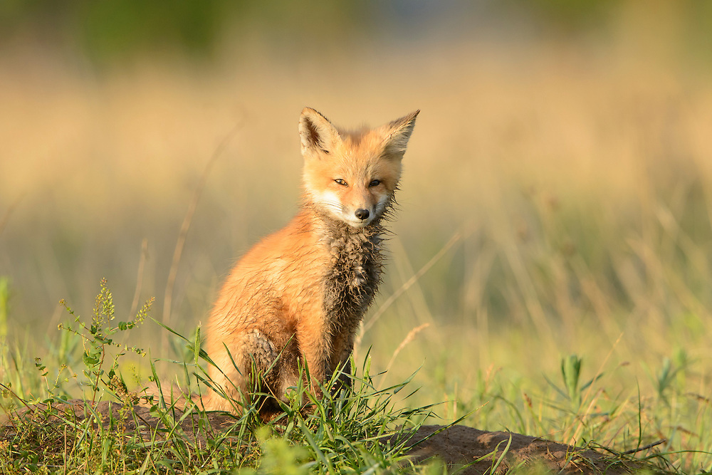 A Red Fox Kit (Vulpes vulpes) sitting on top of the den site, Missoula, Montana