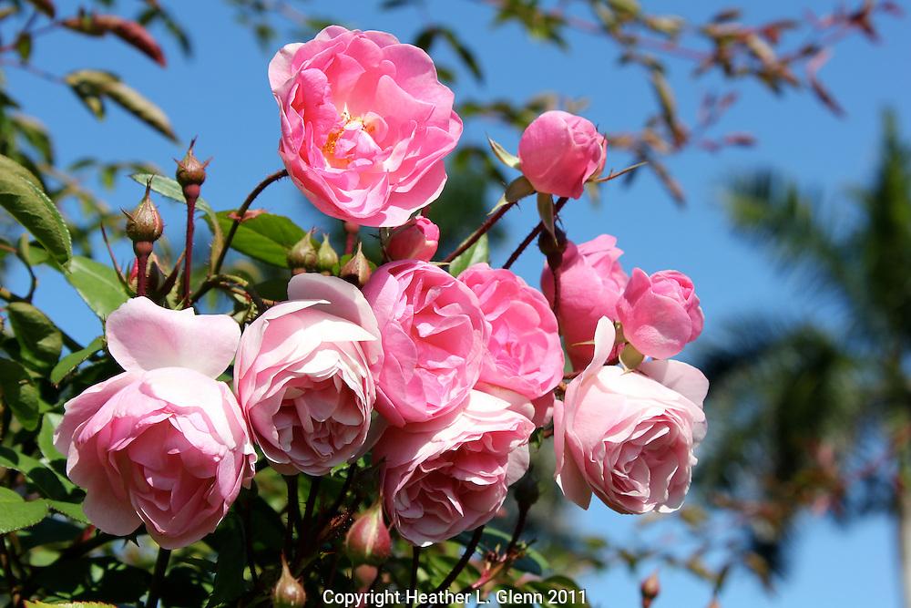 Pink Roses in Sarasota, Florida