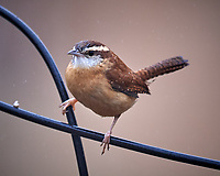 Marsh Wren at the Bird Feeder. Image taken with a Nikon D5 camera and 600 mm f/4 VR telephoto lens.