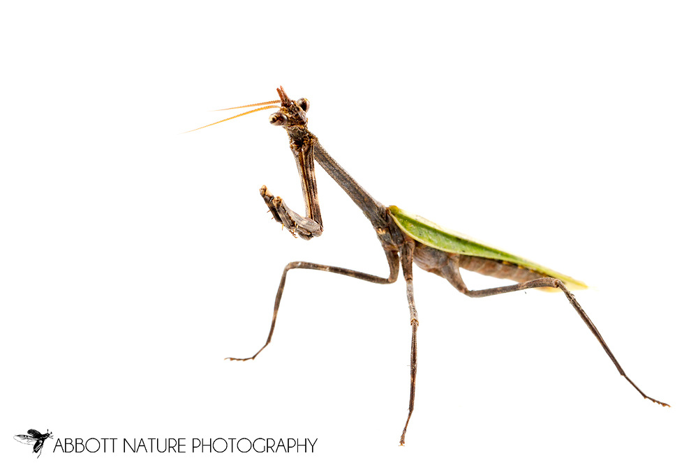 Texas Unicorn Mantis (Phyllovates chlorophaea) - female<br /> TEXAS: Hidalgo Co.<br /> Old Hidalgo Pumphouse; Hidalgo<br /> 8-Nov-2014<br /> J.C. Abbott &amp; K.K. Abbott