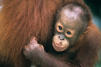Young Orangutan embracing mother close-up