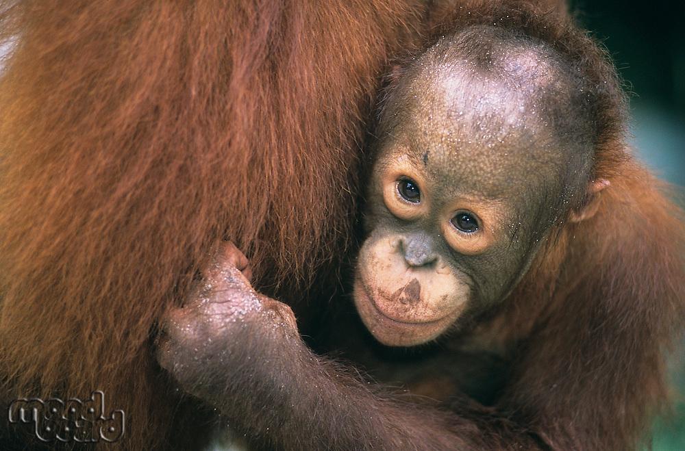 Young Orangutan embracing mother close-up