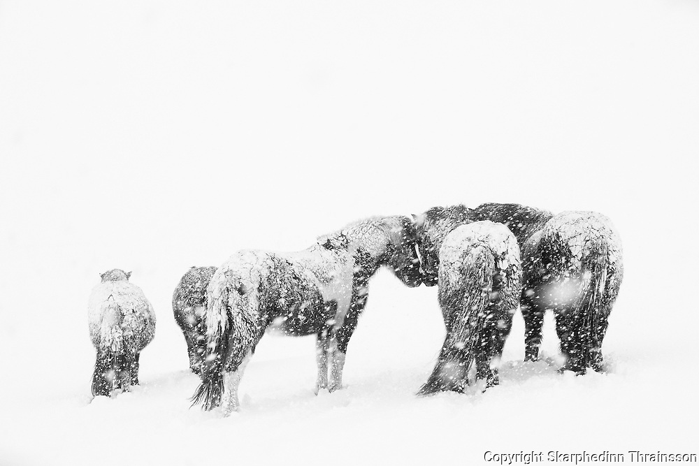 Snow horses